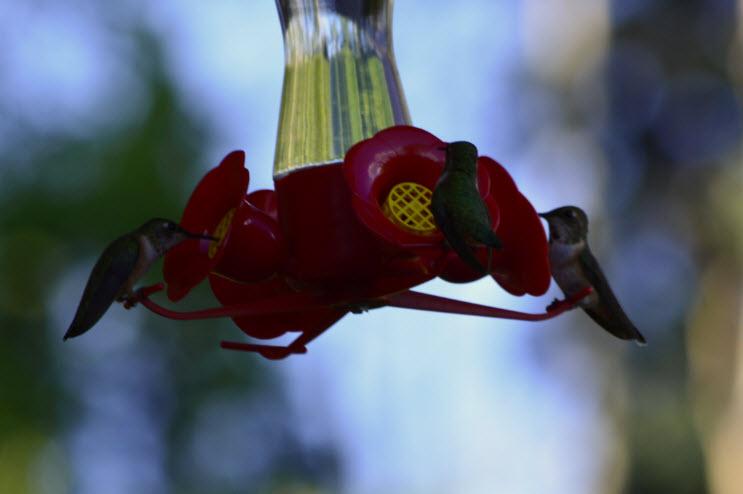 16_Hummingbird4